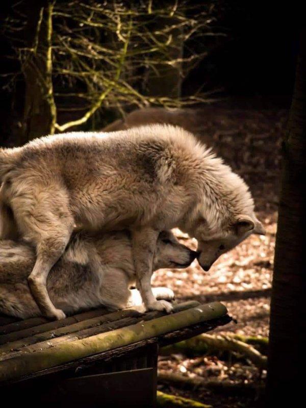 Mon coeur est comme un loup carnassier que ma mère a rendu inflexible. Eschyle , Les Choéphores, trad. Émile Chambry
