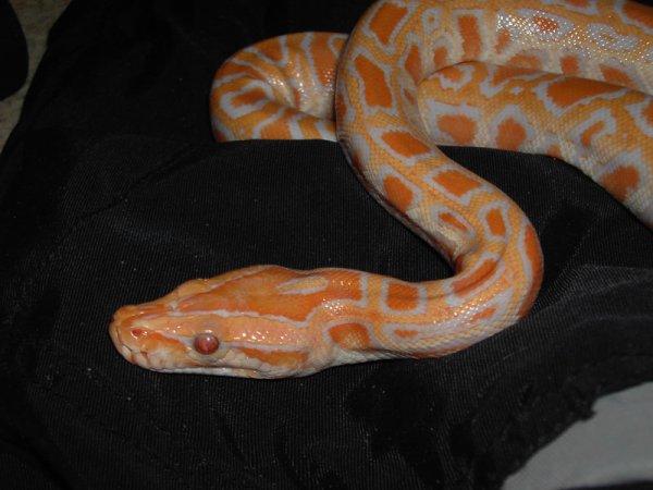 Mon python molure albinos : Ezkal