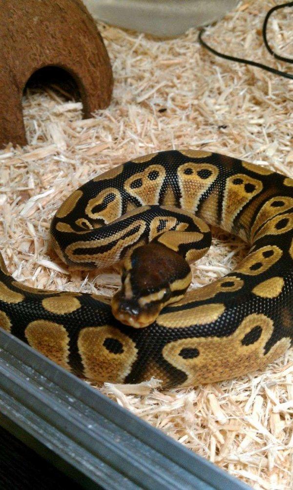 Ma femelle python régius : Eryx