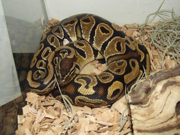 Mon python régius mâle : Keera