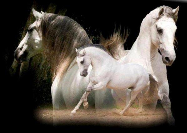 chevaux merveilleux