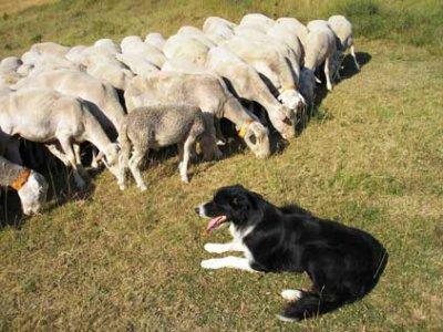 """Les milles métiers du chien """"le gardien de troupeau"""""""