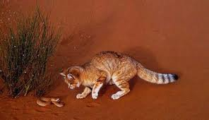 Animal du mois d'Avril: le chat des sables
