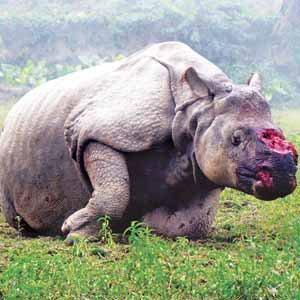Braconnage de corne de rhinocéros en Afrique du sud