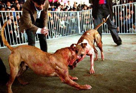 Les chiens de combats
