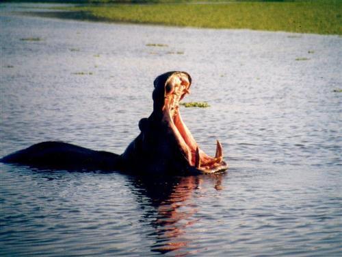 Animal du mois d'Aout, l'hippopotame