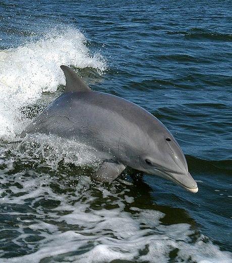 L'étonnante histoire des dauphins qui offrent des cadeaux aux Hommes