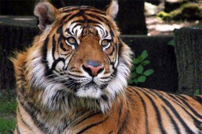 le tigre du bengale menacé