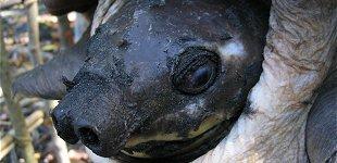 la tortue à nez de cochon