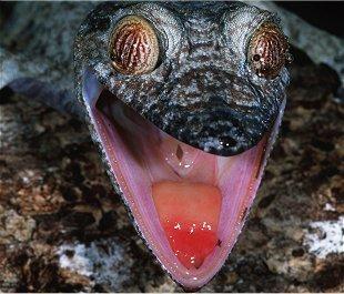Le gecko à queue feuillue
