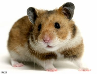 Le hamster commun