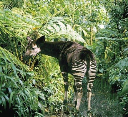 L' Okapi