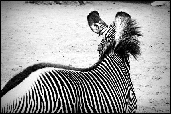 N° 23 - Cousin du cheval, blanc à rayures noires, ou noir à rayures blanches ?