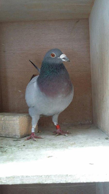 Dépouillement  à 10 hoo ce samedi. St Vincent lâcher à 7h15.       360 pigeons!! nouveau record 2° mise en loges en France.3379 au total.