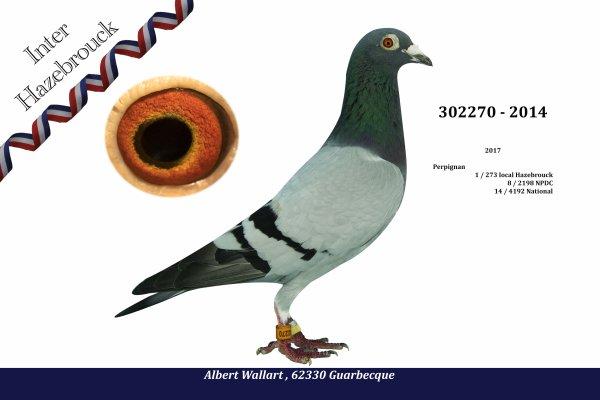 Photos  en préparation premiers et As pigeon..