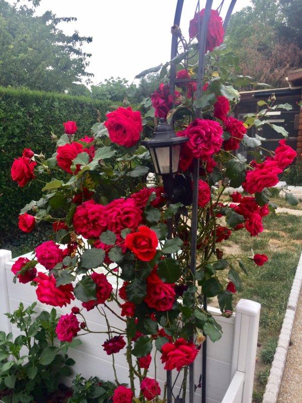 Un de mes rosiers
