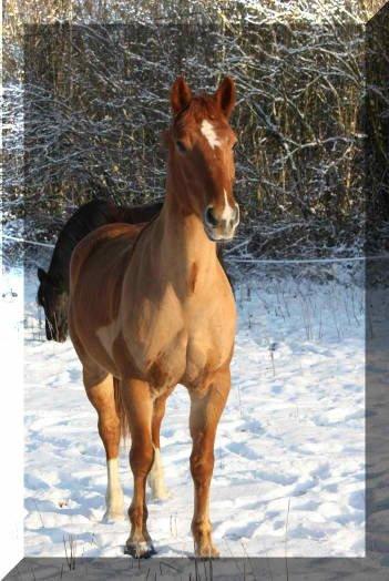 Voilà le cheval que je vais pour la deuxième épreuve de dressage