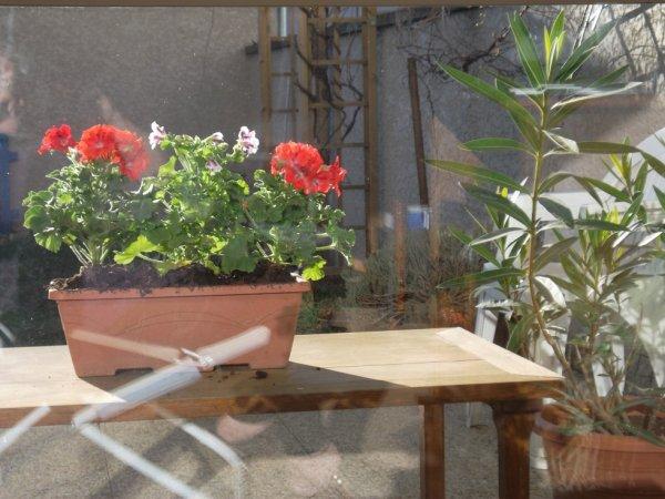 premières fleurs sur ma terrasse  !!!  bon jeudi tout le monde !!!