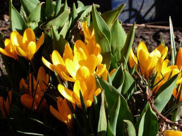 premières fleurs de mars  çà sent bon le printemps   !!!
