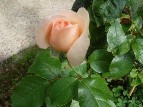 c'est avec cette rose de ma terrasse que je vous souhaite un bon lundi   !!!
