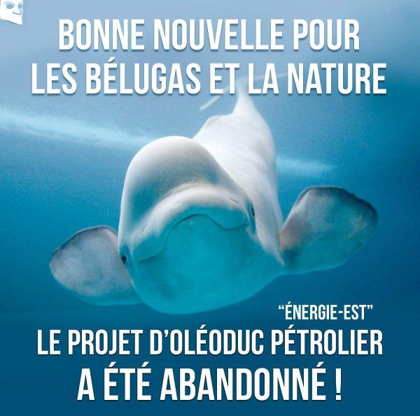 Bonne Nouvelle Pour Les Bélugas Et La Nature