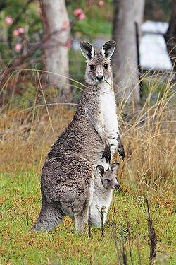 kangourou géant