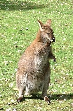 wallaby à cou rouge