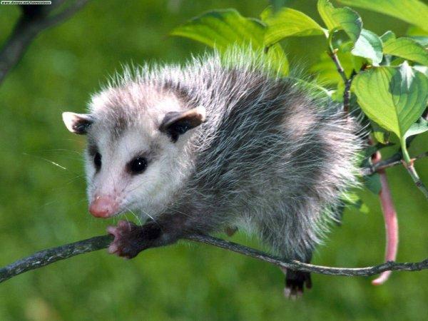 l'opossum de virginie