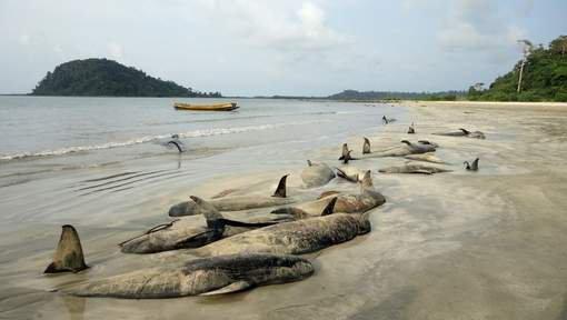 Mort de 40 baleines échouées sur une île indienne