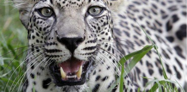 FIN DE VIE SUR TERRE ! Bêtise humaine: Ils ont tué le dernier léopard des montagnes en Egypte