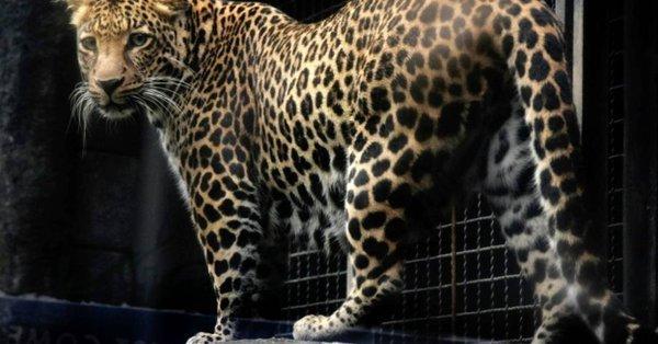 FIN DE VIE SUR TERRE ORGANISEE : Afrique du Sud: effondrement du nombre de léopards au point qu'ils pourraient disparaître d'ici 3 ans à peine