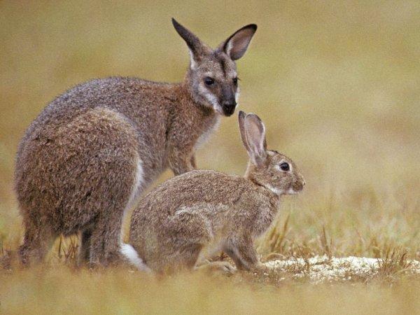 FIN DE VIE SUR TERRE ORGANISEE : L'Australie libère un virus particulièrement dangereux pour réduire le nombre de lapins