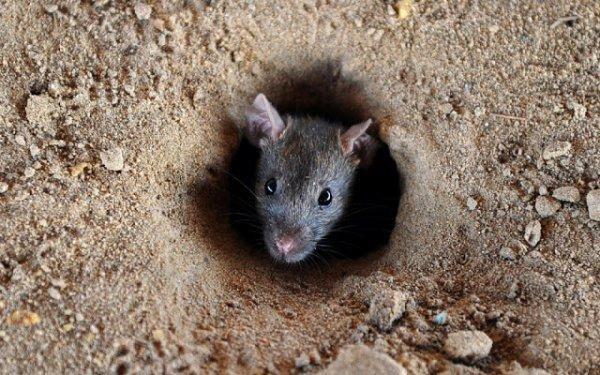 BIG ONE MONDIAL IMMINENT ET FIN DE VIE SUR TERRE ! ARRIVEE DE NIBIRU :Des milliers de rats envahissent les villages en Birmanie
