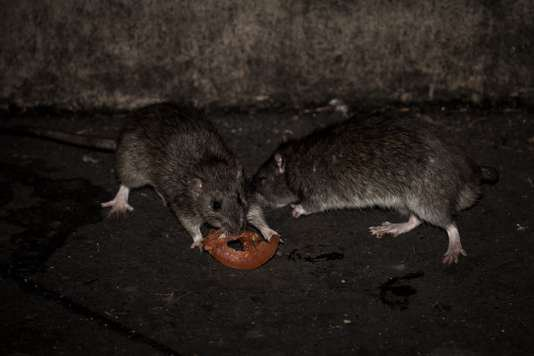 BIG ONE MONDIAL IMMINENT ET FIN DE VIE SUR TERRE ! ARRIVEE DE NIBIRU :Rats, punaises, moustiques, frelons… Le nombre de « nuisibles » explose en France
