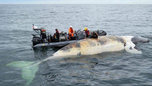 FIN DE VIE SUR TERRE : Canada: Une 10e baleine noire retrouvée morte dans le golfe du Saint-Laurent