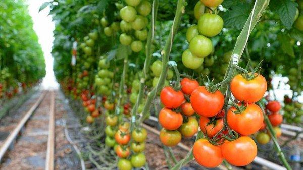 FIN DE VIE SUR TERRE ORGANISEE: FRANCE : Virus de la tomate. Contamination confirmée dans une exploitation du Finistère