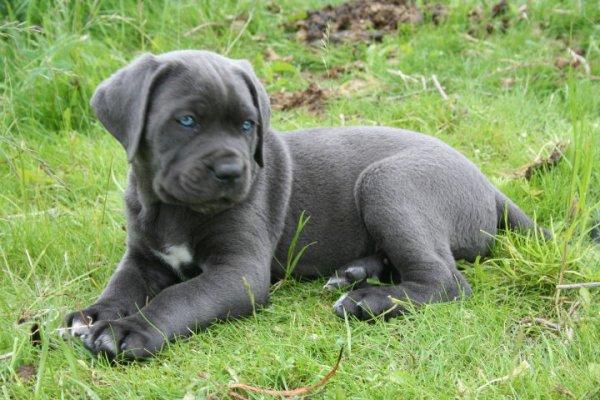 cane corso bébé - beaugossdu62