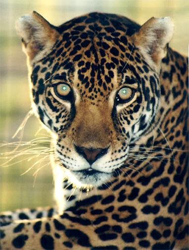 le jaguar sos animaux en danger. Black Bedroom Furniture Sets. Home Design Ideas