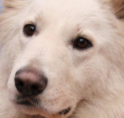 kaena loup blanc