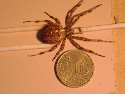 mes araignée