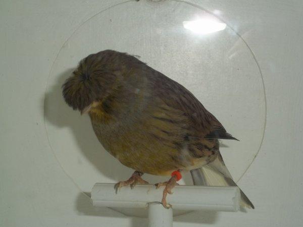 mâle gloster corona