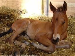 Les chevaux ibériques... Le poulain.
