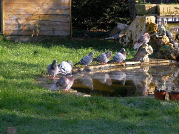 Les pigeons !!!