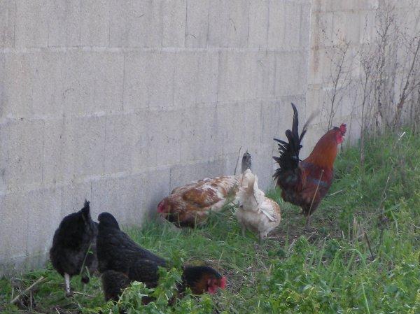 Les poules !!!
