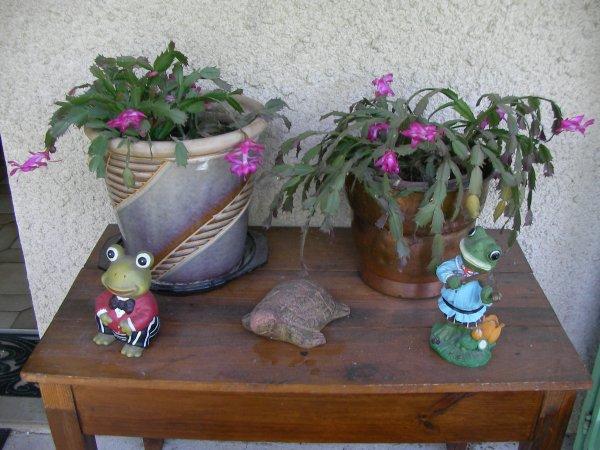 Mes cactus en fleurs !!