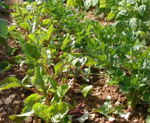 Les bons légumes de mon jardin