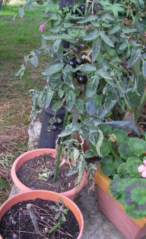 Tomates noires .....