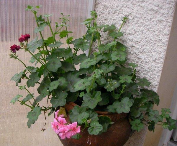 Les  géraniums en fleurs !!