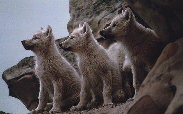 Les Loups, ma passion.....