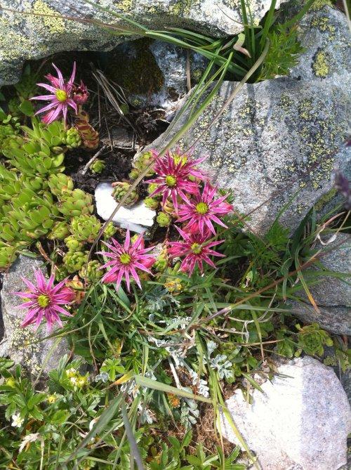 Une jolie petite joubarbe en fleur
